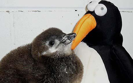 Soft toy surrogate sibling for baby penguin