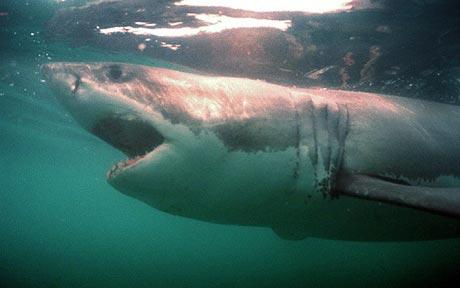 Great white sharks look for girlfriends in underwater singles bar, scientists believe